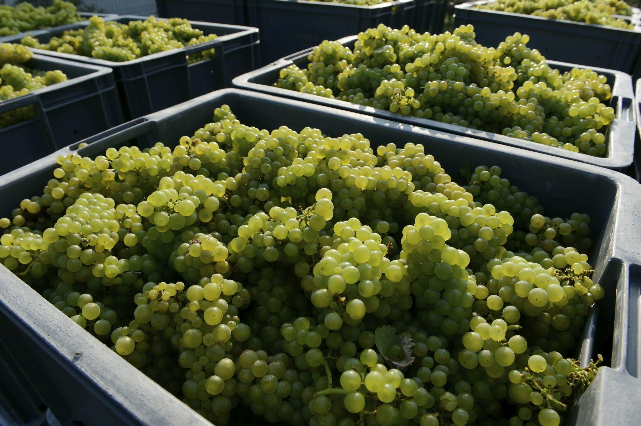 Les contributions du raisins sur Le rapport annuel 2017 du Comité Champagne .