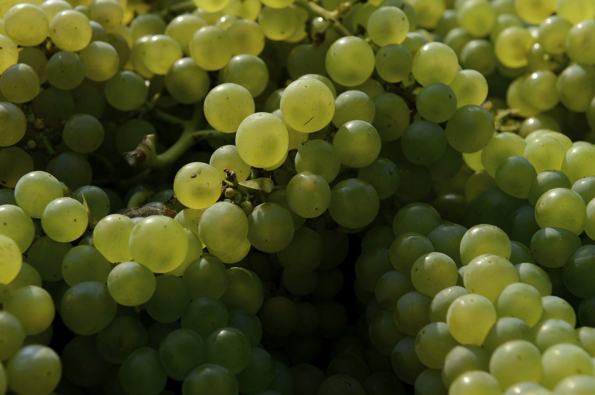 Trier le raisin...pour sauver les moucherons et les coccinelles.