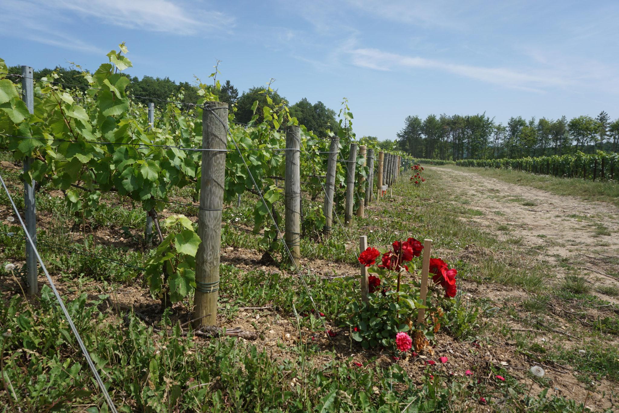 Des rosiers offerts pour embellir le vignoble.
